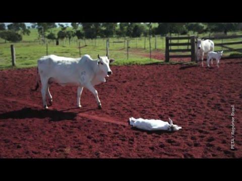 Mucche maltrattate senza pietà per avere borse e scarpe di pelle