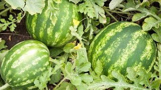 How to Grow Watermelons - Complete Growing Guide