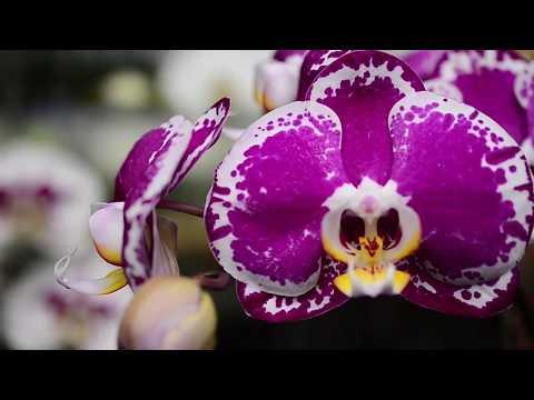 Video Budidaya Anggrek (Perkawinan Anggrek Bulan)