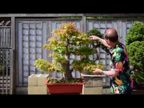 Large Maple Bonsai Shaping