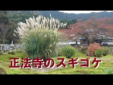 正法寺(神河町)のスギゴケ