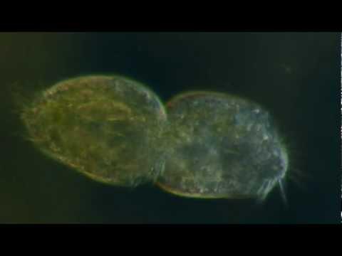 Uri ng mga parasites sa ligaw bulugan