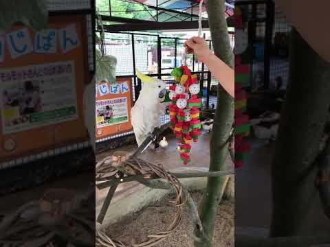 【池田動物園公式】キバタンのチイコちゃんに遊具をプレゼント☆