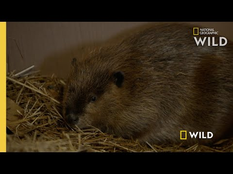Beaver Gender Reveal | Critter Fixers: Country Vets