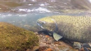 The WDFW: Making Way For Salmon