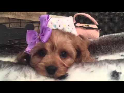 Absolute baby doll, Cavapoo puppy