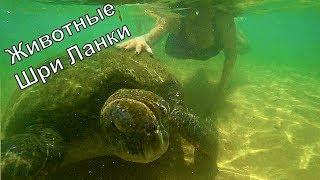 Животные Шри Ланки (виды, название, описание). В этом видео я делюсь своими впечатлениями от купания с огромными черепахами и в целом от животного мира Цейлона.  1. Факты о морских черепахах. 2. Большие вараны на пляжах Шри