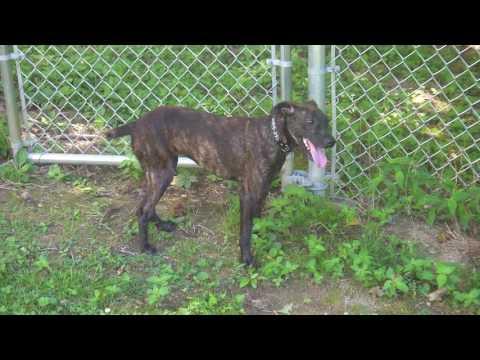 Morgana, an adoptable Feist & Hound Mix in Albany, NY