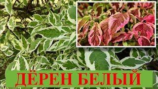 ДЁРЕН БЕЛЫЙ.  ЭЛЕГАНТИССИМА, ШПЕТА, АРГЕНТЕО-МАРГИНАТА.