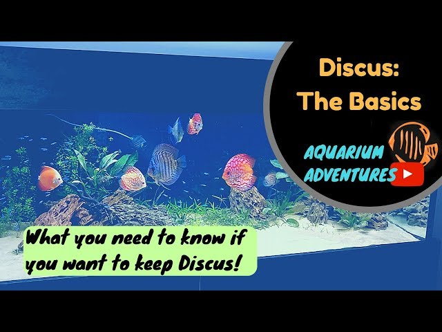 Discus Fish Basics: Introduction to keeping Discus for the 'Newbie' 2018