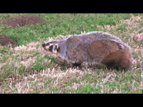 BADGER VS. HUMAN (CRAZY)