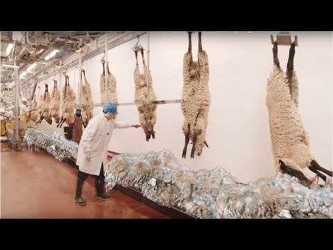 , title : 'How to Harvesting Wool - Amazing Sheep Factory - Wool Processing Mill - Modern Sheep Shearing