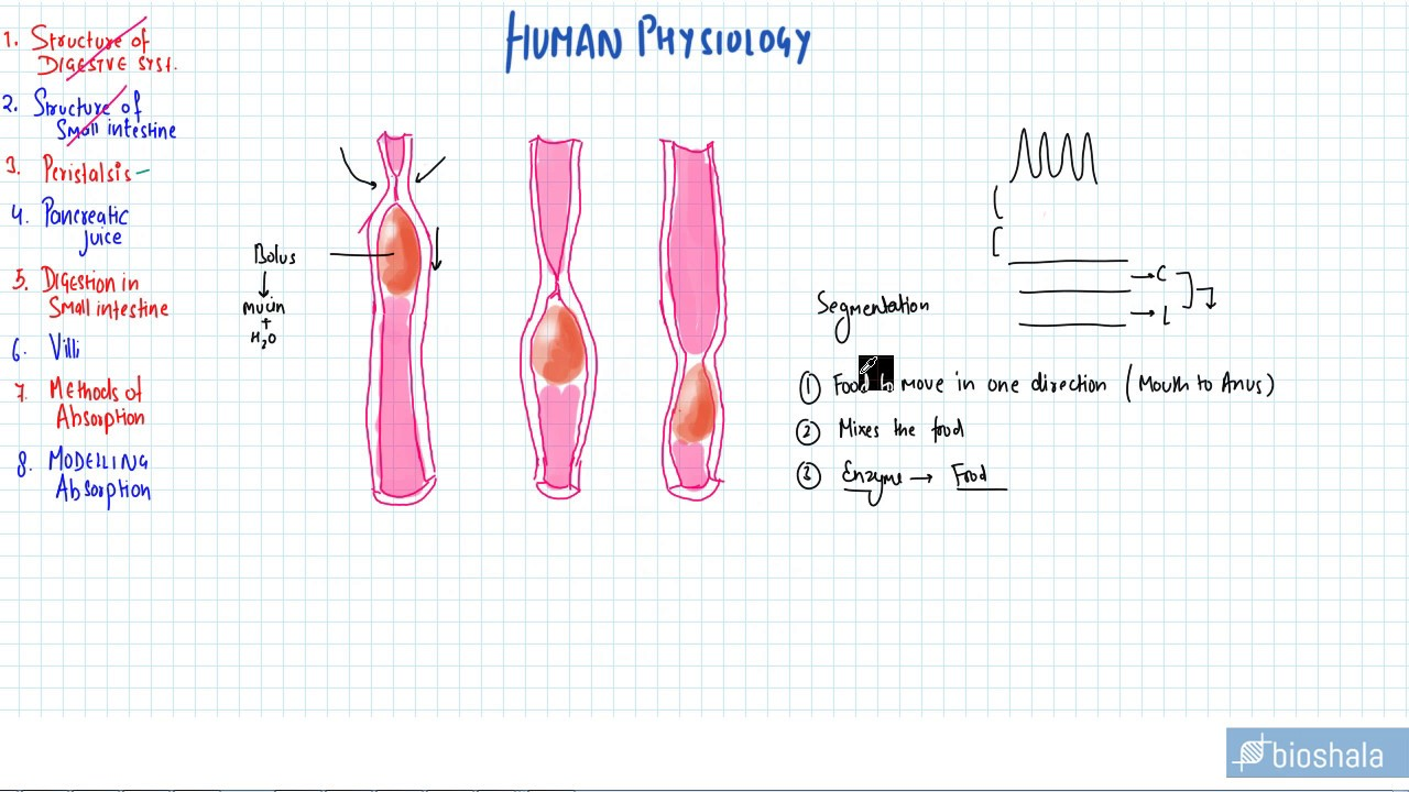 What is peristalsis?