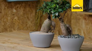 Taking Care of a Ginseng Ficus