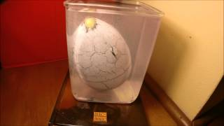 Hatching Dinosaur Egg Time Lapse Video