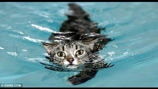 Прикол Кот упал в бассейн