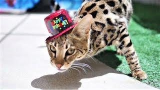 Бенгальский кот отмечает день рождения 1 год - смешные коты, кошки и котята 2019 - приколы с котами