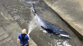 video: Minke Whale trapped in the Thames escapes efforts to rescue it from lock