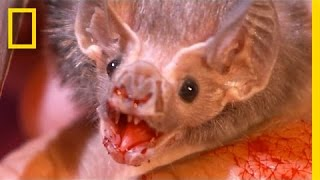 Real-Life Vampires Hunt with Stealth | National Geographic thumbnail
