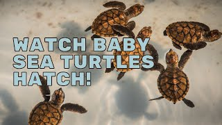 Watch Baby Sea Turtles Hatch! | Mission Unstoppable