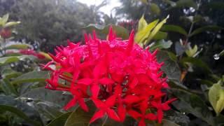 soka flower...