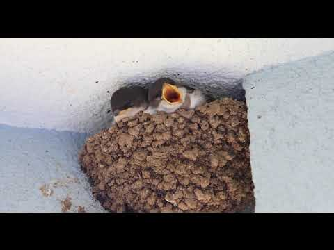 House Martins in Nest