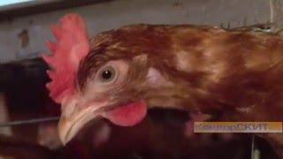 Агрокомплекс Ковдорский обеспечит яйцом весь регион