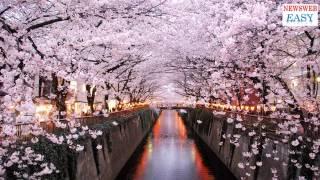 桜の花見をバーチャルリアリティーで楽しむ
