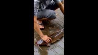 preview picture of video 'LELE RAKSASA BANJARMASIN 210514'