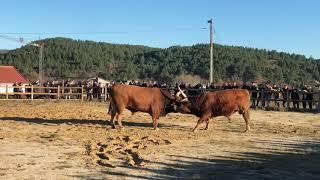 Bullfight | Chega de Bois - XXI FEIRA GASTRONÓMICA DO PORCO | 2019 | BOTICAS