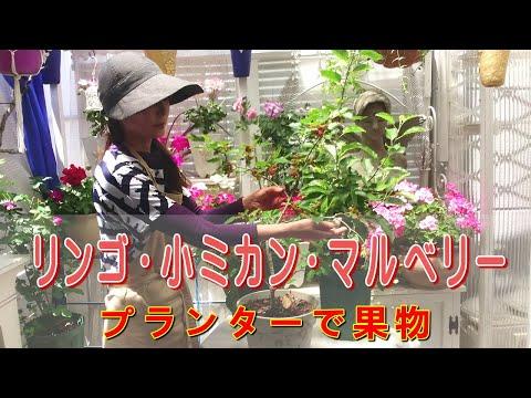 , title : '簡単美味しい果物プランター栽培/リンゴ、みかん、マルベリー栽培