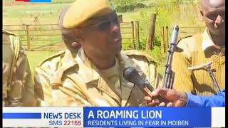 Moiben roaming lion positively relocated after a joint effort between locals and KWS officials