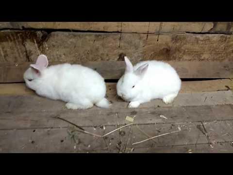 Как определить пол кролика//Самка или самец?