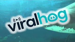 Смотреть онлайн Беременная акула напала на работника окенариума