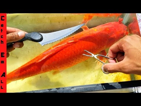 FISH SURGERY Parasite Removal from KOI POND!