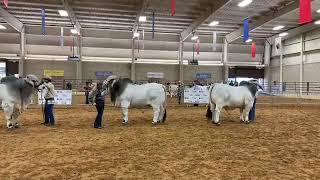 2018 ABBA National Brahman Show Gray Bull Senior Champion Drive