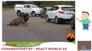 REACT WORLD 24: Lion Shows Tourists  Why You Must Stay Inside Your Car   Latest Wildlife Sightings