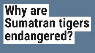 Why are Sumatran tigers endangered?