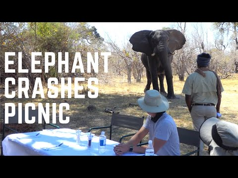 Elephant Joins Brave Africa for Lunch