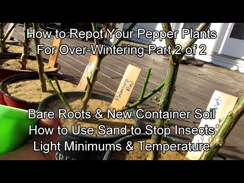 , title : 'How to Repot Your Pepper Plants for Over-Wintering - Part 2/2:  Use New Soil & Sand to Stop Insects!