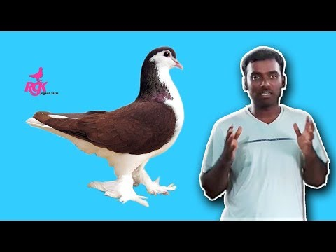 HOW TO FIND GOOD QUALITY   INDIAN LAHORE & europe siraji pigeons