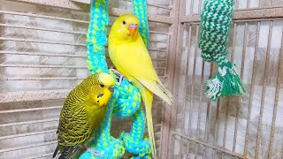 Help Lonely Budgies to Chirp, Nature Parakeets Bird Sound 12 Hr