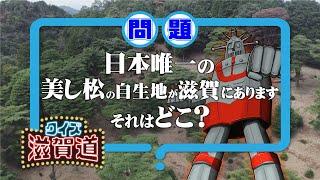 日本唯一の美し松の自生地が滋賀にあります。それはどこ?:クイズ滋賀道