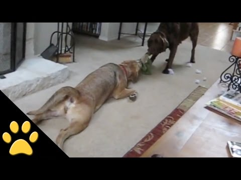 Lazy Dogs: Compilation