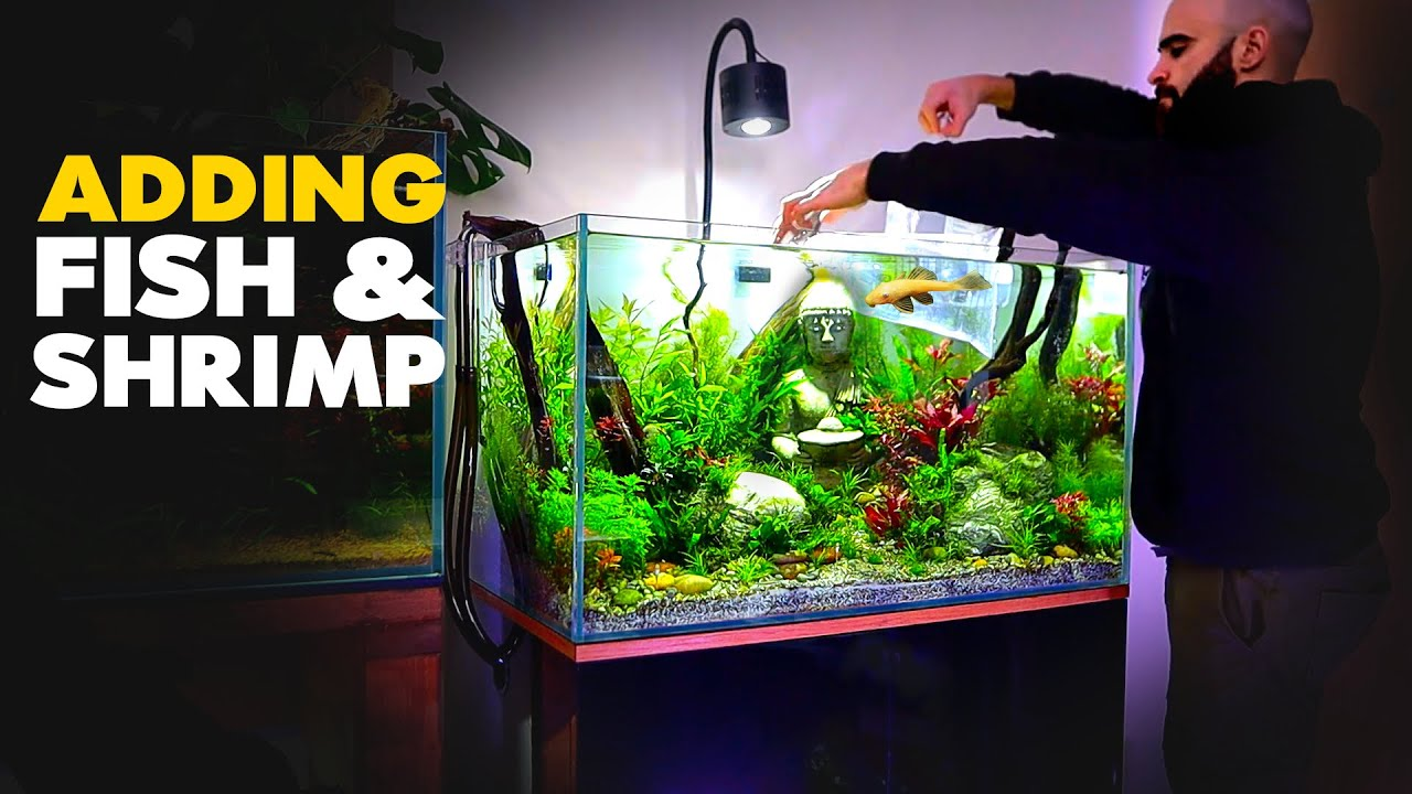 Adding FISH & SHRIMP to BUDDHA Aquarium