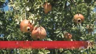 Cultivo de Granada en Turquía