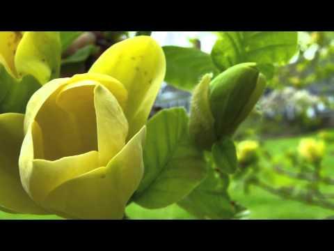 Yellow Magnolia Tree