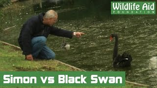 Baby goose saved from territorial black swan