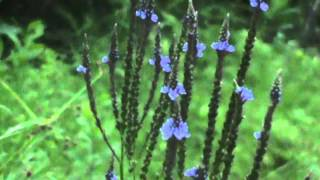 MyNature Apps; Identifying Blue Vervain, Verbena hastata