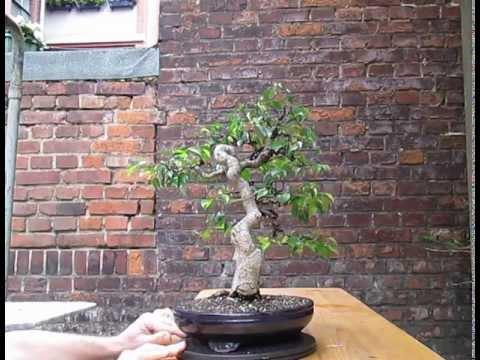 Pleasant Ficus Benjamina Bonsai After Wiring 2013 On Youzeek Com Wiring 101 Akebretraxxcnl